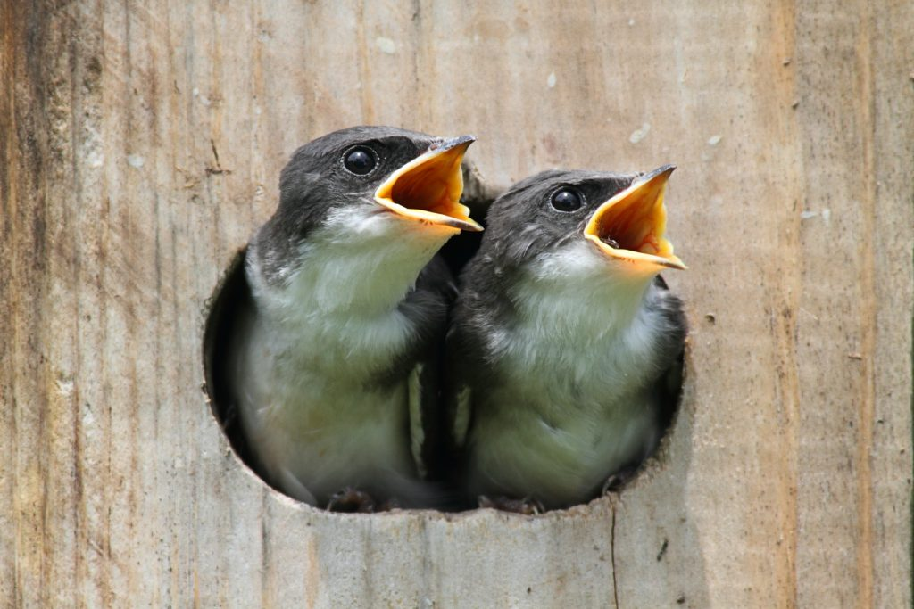 baby swallows in birdhouse